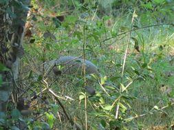 Image of Nine-banded Armadillo