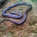 Image of Monocled Cobra