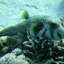 Image of Broadbarred Toadfish
