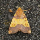 Image of Barred Sallow