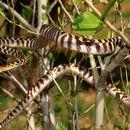 Image of Brown Treesnake
