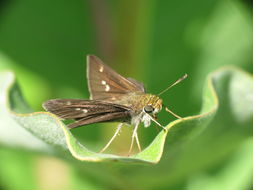 Image of Little Glassywing