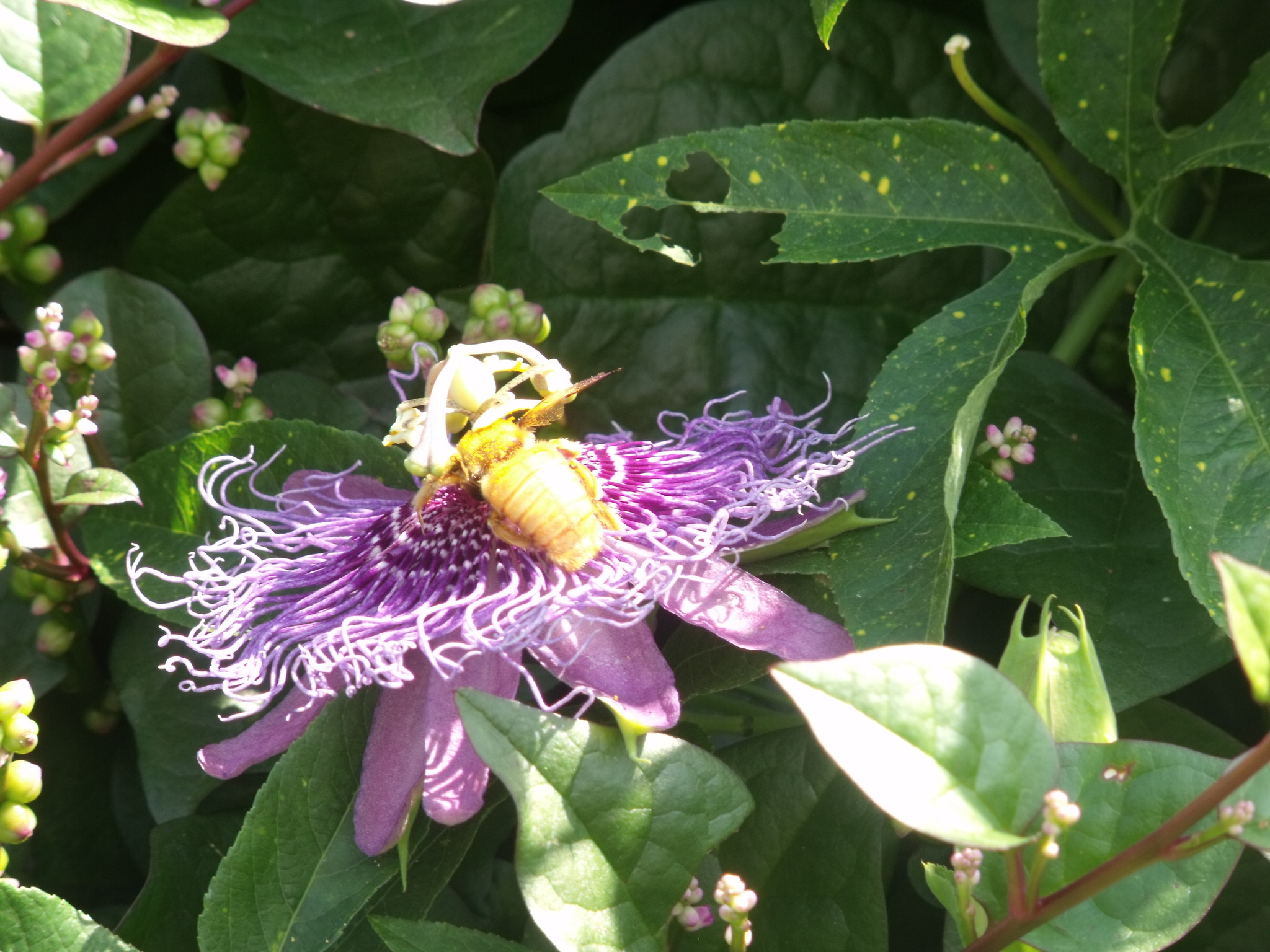 Image of Valley Carpenter Bee