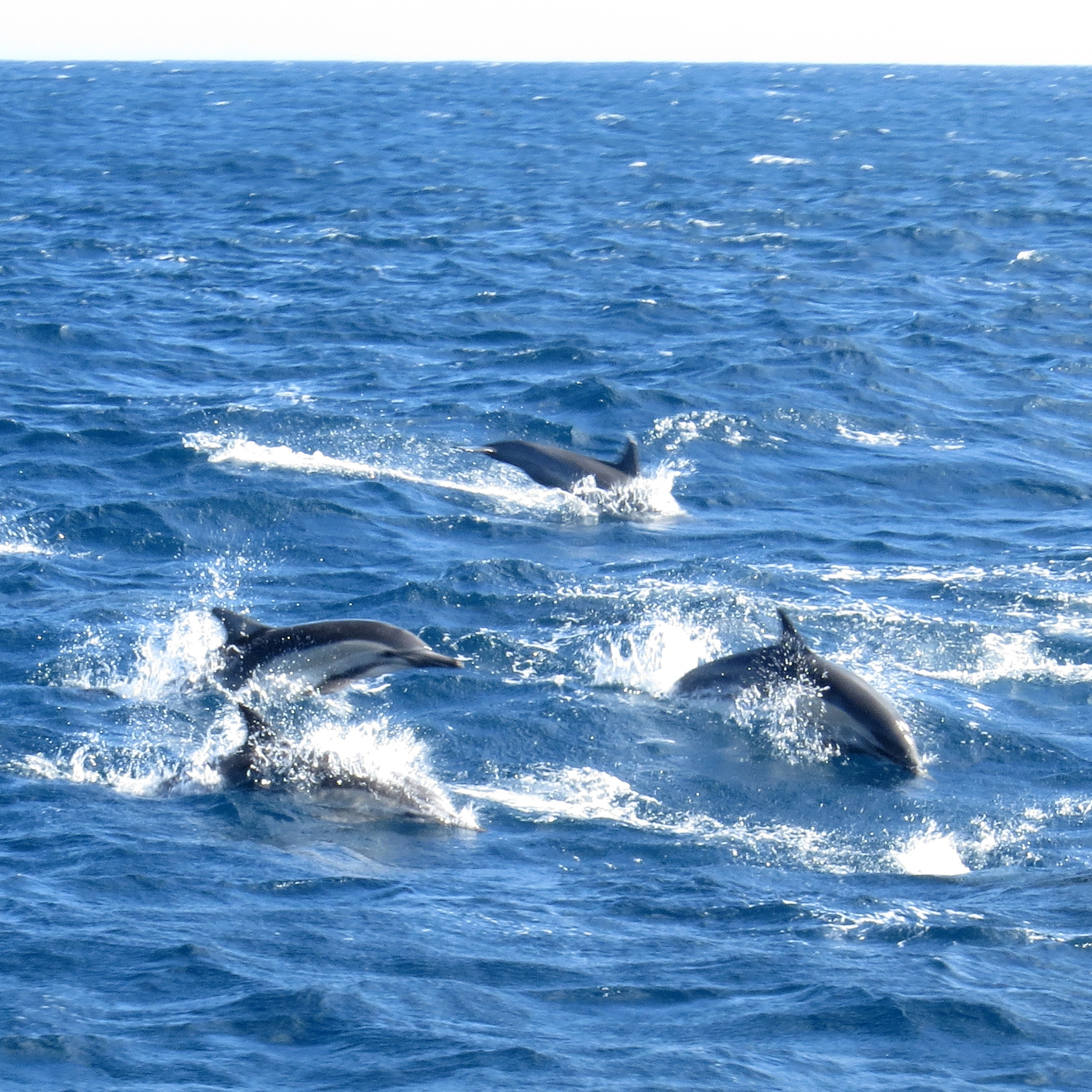 Image of Long-beaked Common Dolphin