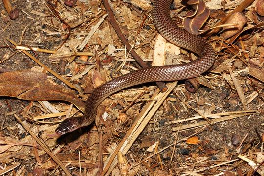 Image of Orange-naped snake