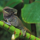 Image of Smooth Helmeted Iguana
