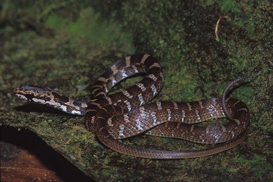 Image of <i>Mastigodryas melanolomus</i> (Cope 1868)