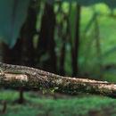 Image of Common Basilisk
