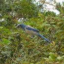 Image of Florida Jay