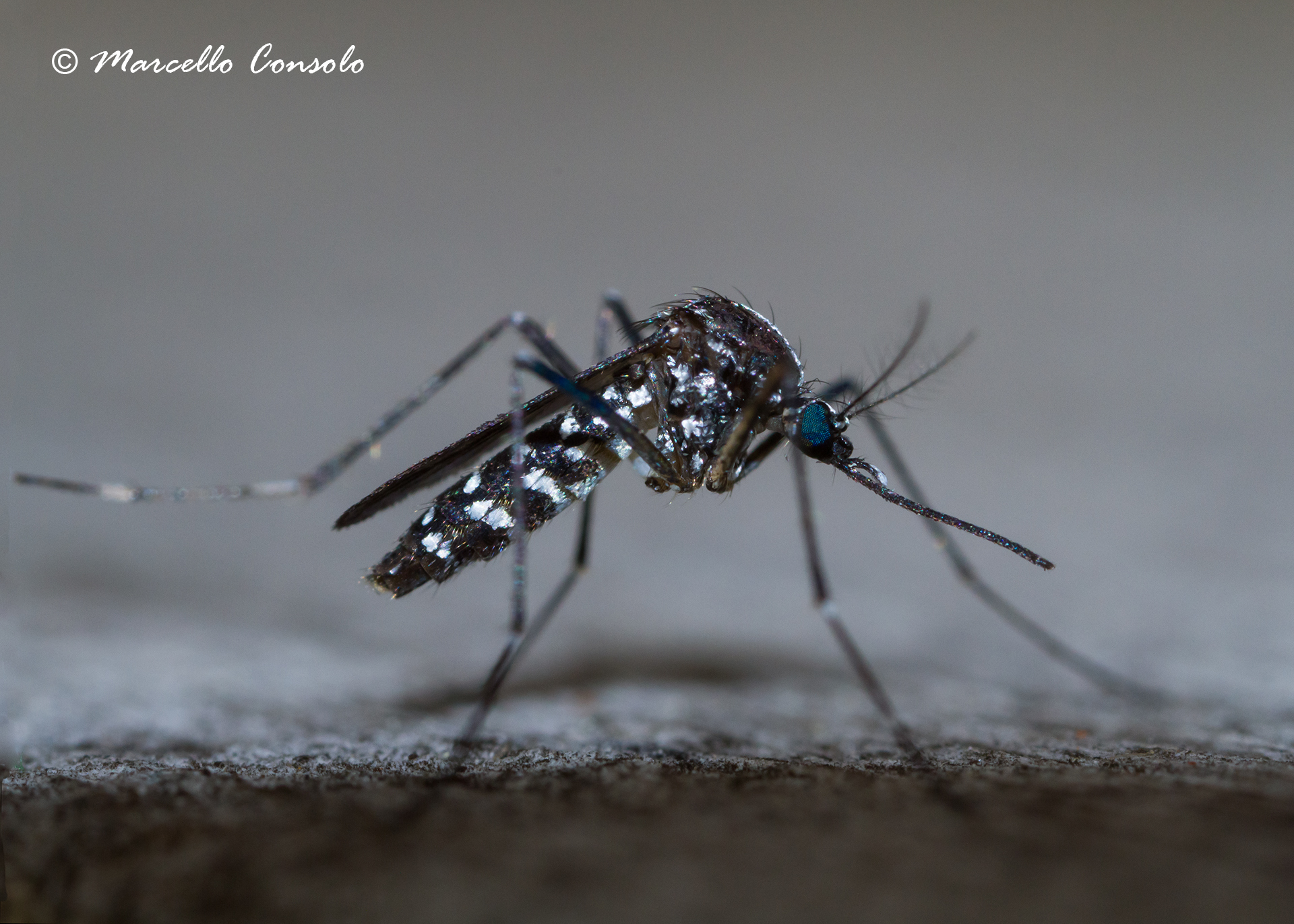 Image of Asian Tiger Mosquito