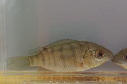 Image of <i>Oreochromis aureus</i> (Steindachner 1864)