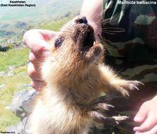 Image of <i><i>Marmota</i></i> (Marmota) <i>baibacina</i> Kastschenko 1899