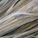 Image of Baja California Brush Lizard