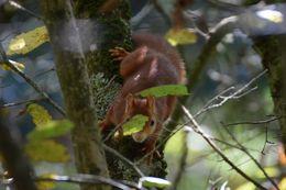 Image of Eurasian red squirrel