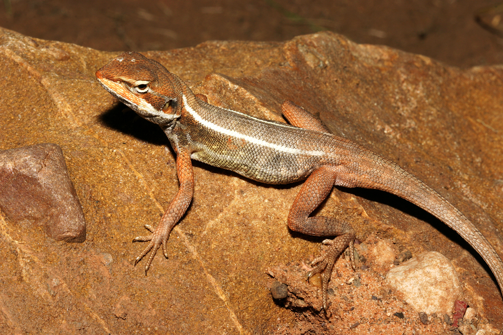 Image of Yellow-sided Two-line Dragon