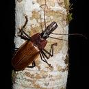 Image of <i>Macrodontia flavipennis</i> Chevrolat 1833