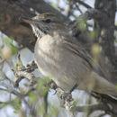 Image of Gray-bellied Shrike-Tyrant