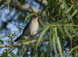 Image of Creamy-bellied Thrush