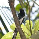 Image of Magpie Tanager