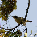Image of Hooded Tanager