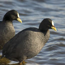 Image of Red-gartered Coot