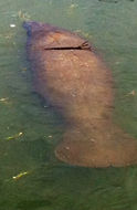 Image of Florida manatee