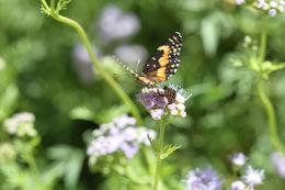 Image of <i>Texola <i>elada</i></i> ssp. elada