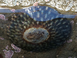 Image of plate limpet