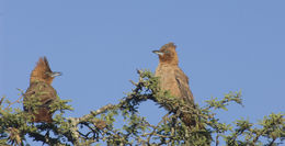 Image of Brown Cacholote