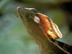 Image of Brown Basilisk