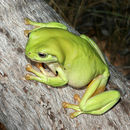 Image of Green Tree Frog