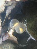 Image of <i>Cryptobranchus <i>alleganiensis</i></i> alleganiensis