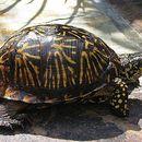 Image of Florida box turtle