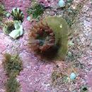 Image of <i>Urticina felina</i>
