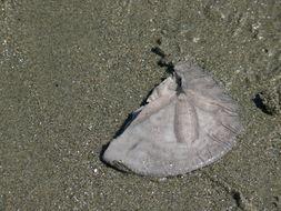 Image of eccentric sand dollar sea urchin