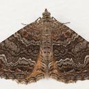 Image of <i>Hydriomena deltoidata</i>