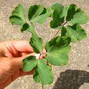 Image of <i>Aquilegia vulgaris</i>