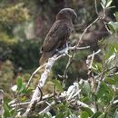 Image of North Island Kaka