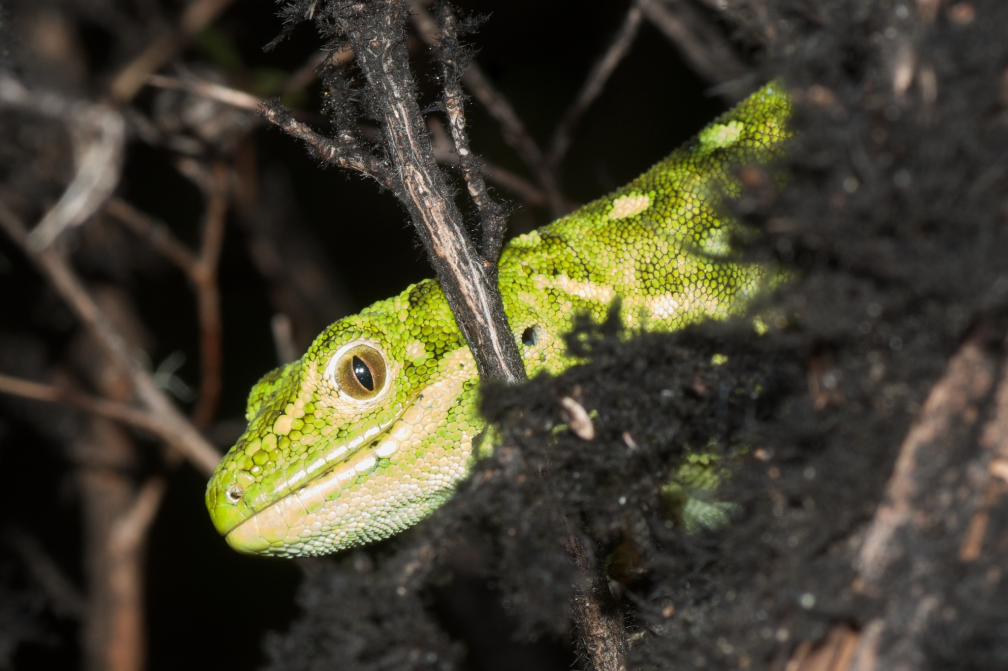 Image of West Coast green gecko