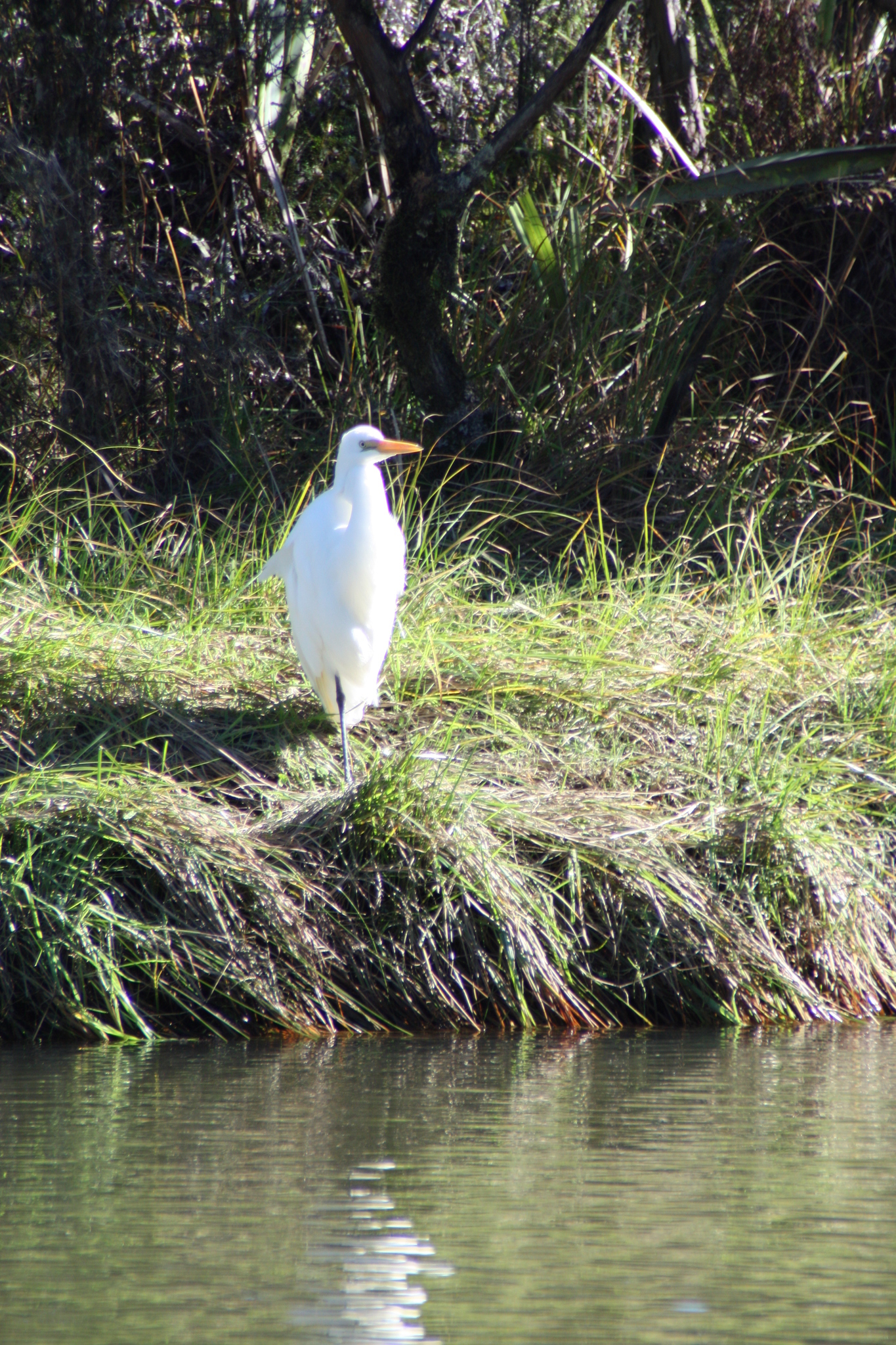 Image of Eastern Great Egret