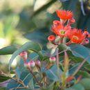 Image of <i>Corymbia ficifolia</i>