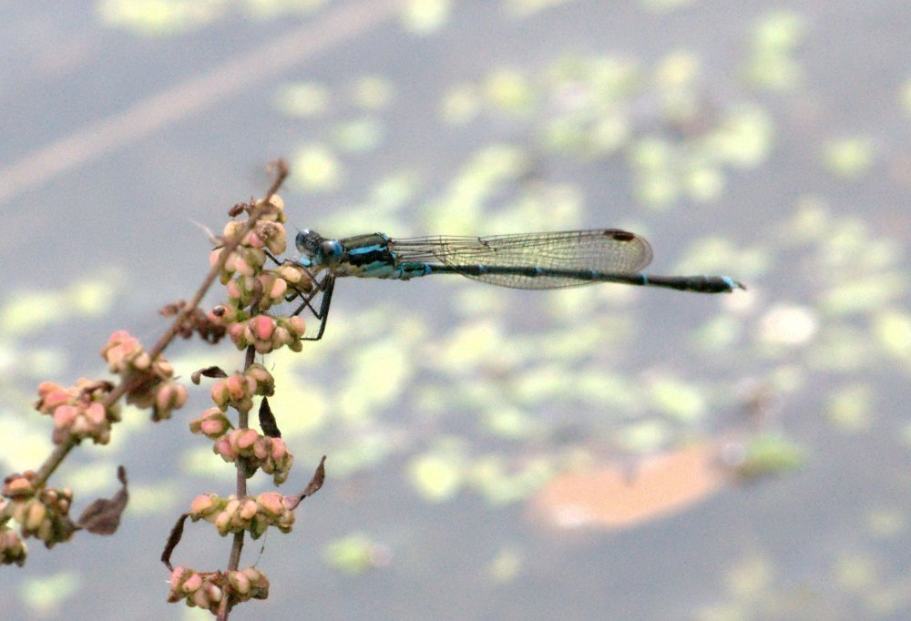 Image of Blue Damselfly