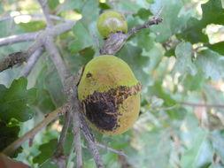 Image of California Gall Wasp