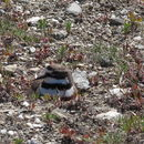 Image of Double-banded Plover