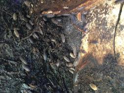 Image of Common rough woodlouse