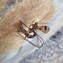 Image of Sabre wasp