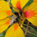 Image of Large garden bumblebee