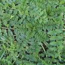 Image of <i>Erodium moschatum</i>