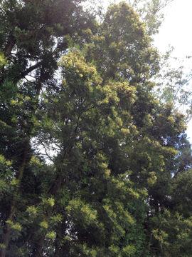 Image of <i>Acacia mearnsii</i>
