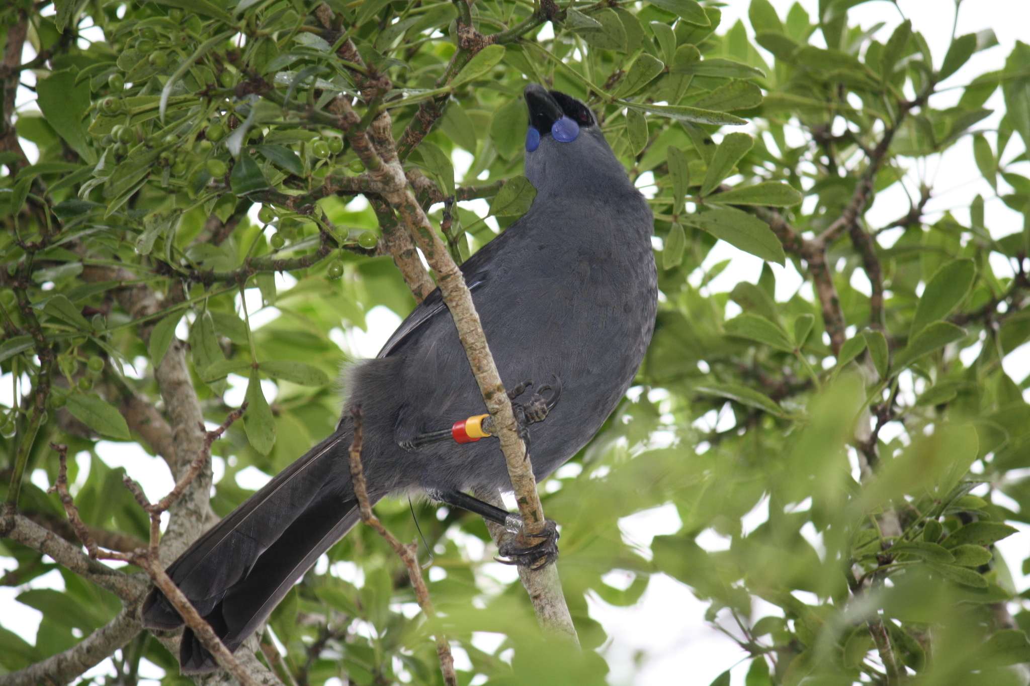 Image of North Island Kokako